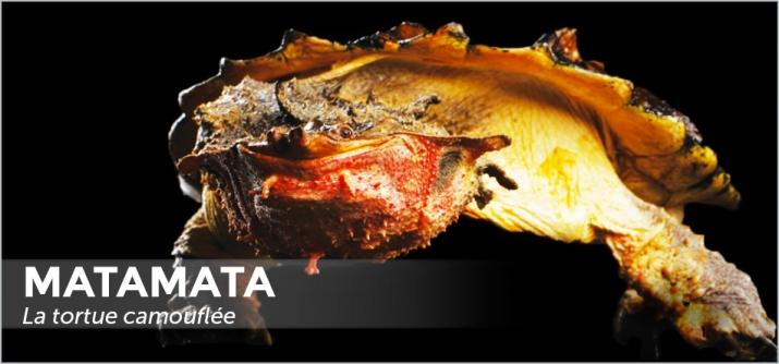 Matamata - La tortue camouflée