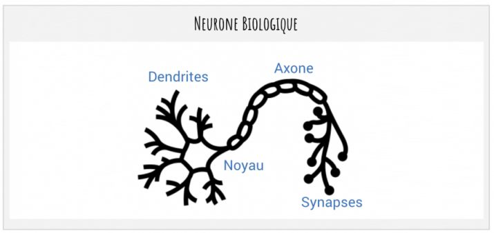 Neurone biologique